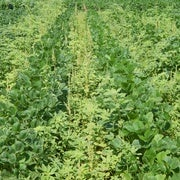 Weeds Are Winning in the War against Herbicide Resistance