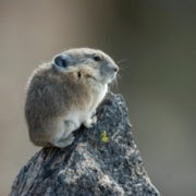 American Pika Denied Endangered Species Status