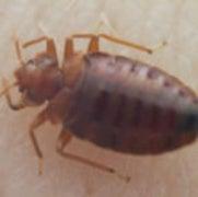 Don't Let the Bedbugs Bite: Pest Management Proves More Effective Than Pesticides