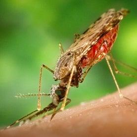 misquito