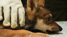 Watch a Wolf Pup Vet Visit