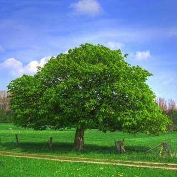 Chestnut's Revival Could Slow Climate Change