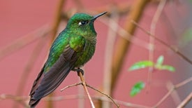 High-Elevation Hummingbirds Evolved a Temperature Trick