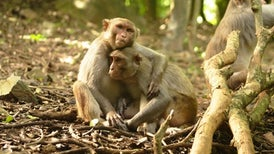 Who's Top Monkey? How Social Status Affects Immune Health