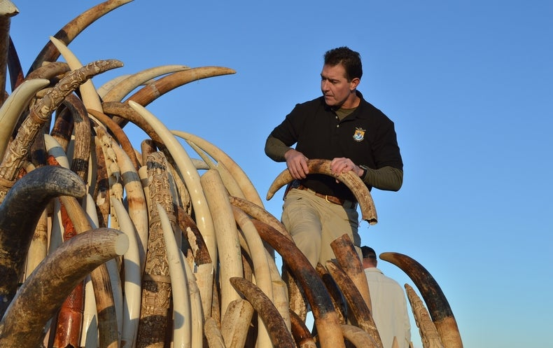 Illegal Ivory Mostly from Recent Elephant Killings