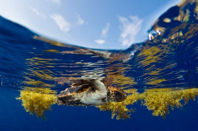 """Sea Turtles' """"Lost Years"""" Transatlantic Journey Mapped for First Time"""