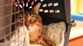 Stem Cell Therapy for Cats