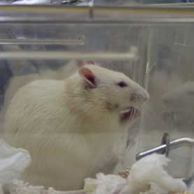The position of the rat is such that it seems to be praying to its bottle of water (on the right ; in fact, it's eating