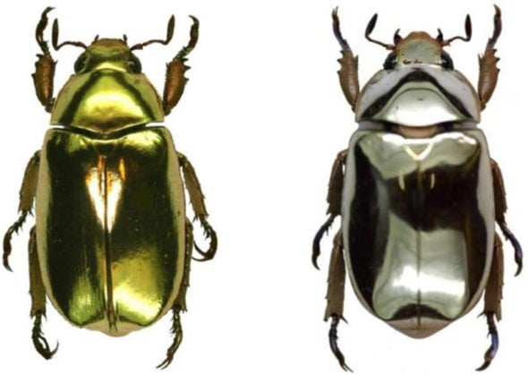 Bug alchemy: Gold and silver beetles shine with structural color
