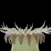<em>Oulactis muscosa,</em>