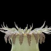 <em>Oulactis muscosa,</em>&nbsp;
