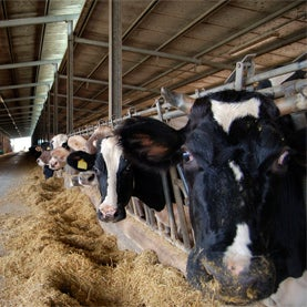 cattle, environment, red meat, protein, vegetable production