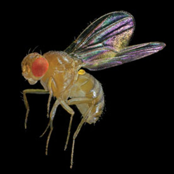 Concussed Fruit Flies May Provide Insights into Human Brain Injuries