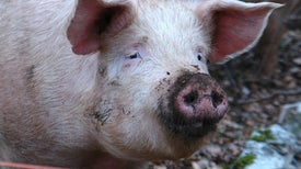 Canadian Lab Worker Possibly Exposed to Ebola from Pigs
