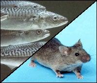 GM Mice Make Heart-Friendly Fish Oils