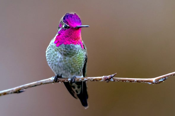 Hummingbirds' Iridescent Feathers Are Still a Bit of a Mystery
