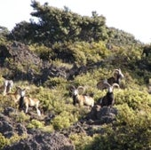 MOUFLON SHEEP: