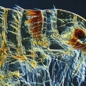 Dog flea <i>Ctenocephalides canis</i>