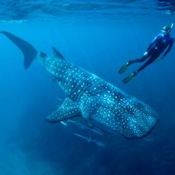 How to Love a Whale Shark