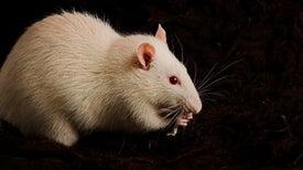 Supercomputer Simulates Rat Brain Fragment