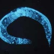Nobel Worm Aids Understanding of Aging Processes