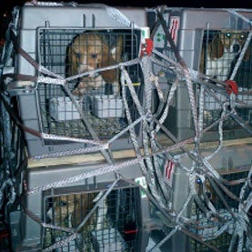 Beagles in Cargo