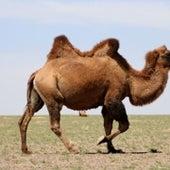 Wild Bactrian Camel <i>Camelus bactrianus</i>
