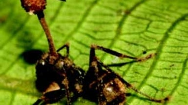 Fungus Makes Zombie Ants Do All the Work