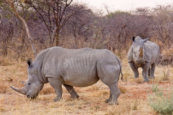 Species Fate at Stake as South Africa Considers Rhino Horn Trade