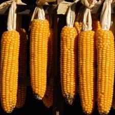 Cracked Corn: Scientists Solve Maize's Genetic Maze