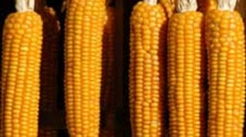 Cracked Corn: Scientists Solve Maize's Genetic Maze