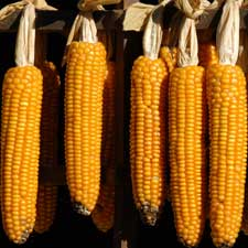 corn maize genome