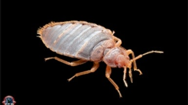 Bed Bug Confidential  An Expert Explains How to Defend against the Dreaded  Pests   Scientific American. Bed Bug Confidential  An Expert Explains How to Defend against the