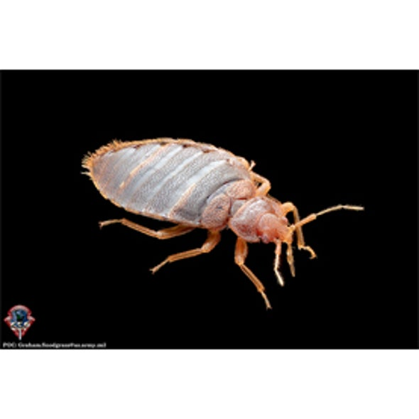 Everything You Wanted To Know About Bed Bugs