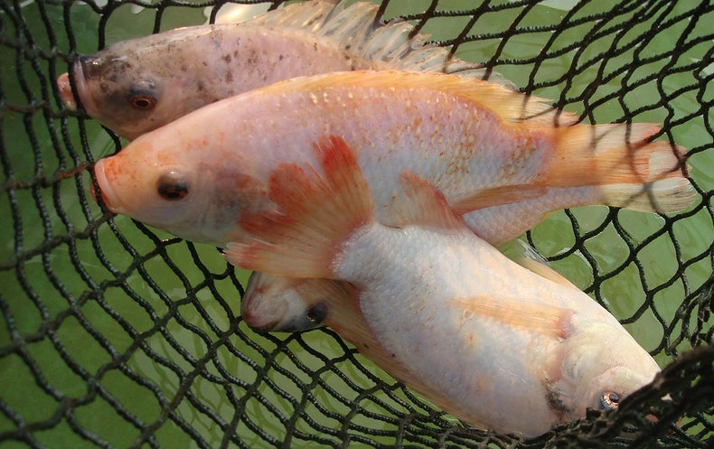 Can tilapia skin be used to bandage burns scientific for Tilapia fake fish