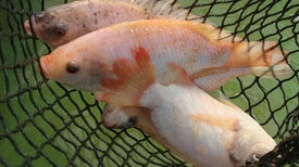 Can Tilapia Skin Be Used to Bandage Burns?