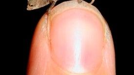 World's Tiniest Chameleon Discovered