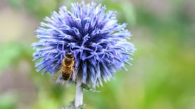 Bees Have a Goldilocks Lawn Mow Schedule