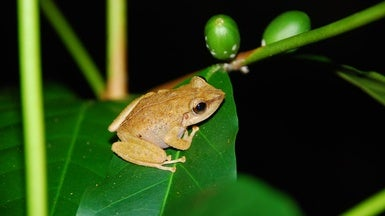 Invasive Frogs Don't Bug Hawaiian Birds