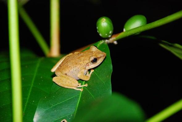 Invasive Frogs Don't Bug Hawaiian Birds