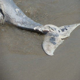 Are Humans behind the Massive Dolphin Die-Offs along the U.S. Mid-Atlantic Coast?