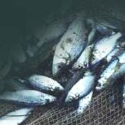 Fish-Rich Diet May Reduce Levels of Fat Hormone