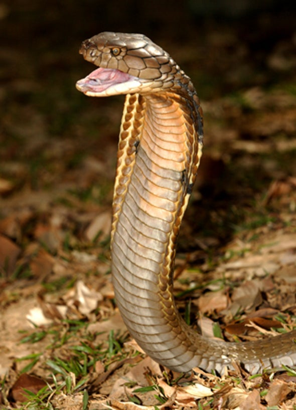 Pick Your Poison: Cobra Venom Shows Therapeutic Promise