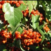 Variation in Color Vision Genes May Have Helped Humans See the Fruit for the Trees