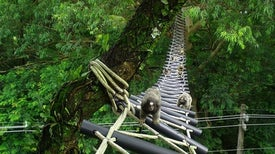 Rain Forest Canopy Bridges Aid Slow Lorises, Gibbons and Other Threatened Species