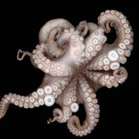 Sensational Sucker: The Neural Complexity of the Octopus Organ