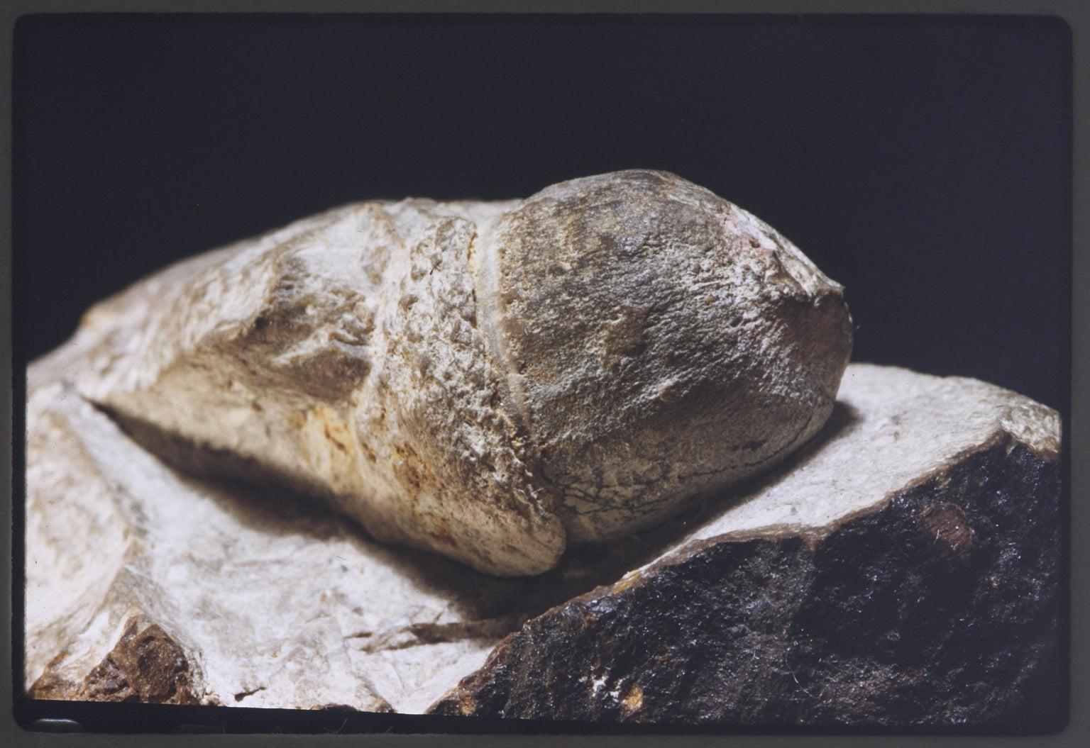 Fossil acorn
