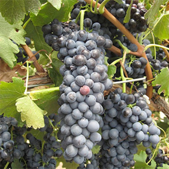 Australian Wines Affected by Climate Change