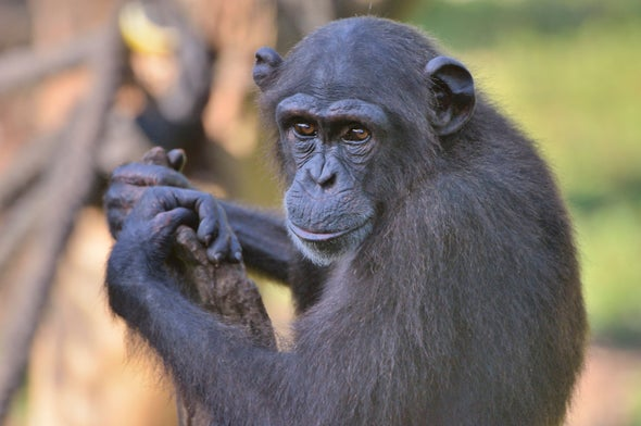 Pathogen Discovered That Kills Endangered Chimps: Is It a Threat to Humans?