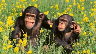 Sociable Chimps Get Richer Gut Microbiomes
